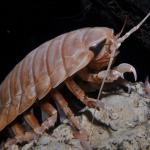 気持ち悪っ!オオグソクムシは食用!?静岡の沼津深海水族館人気者の味は!?