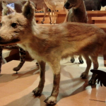 ニホンオオカミの絶滅理由 謎の生態と意外な特徴大きさから信仰が深まったワケ