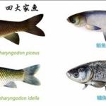 レンギョ大量死 千葉県香取市で5千匹が酸欠した原因と生態について