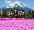 富士山の芝桜は富士芝桜まつり!住所地図と時期はずれ割引は?