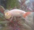 不思議な金魚、水泡眼の飼い方 寿命伸ばすなら同じ水槽で混泳避ける